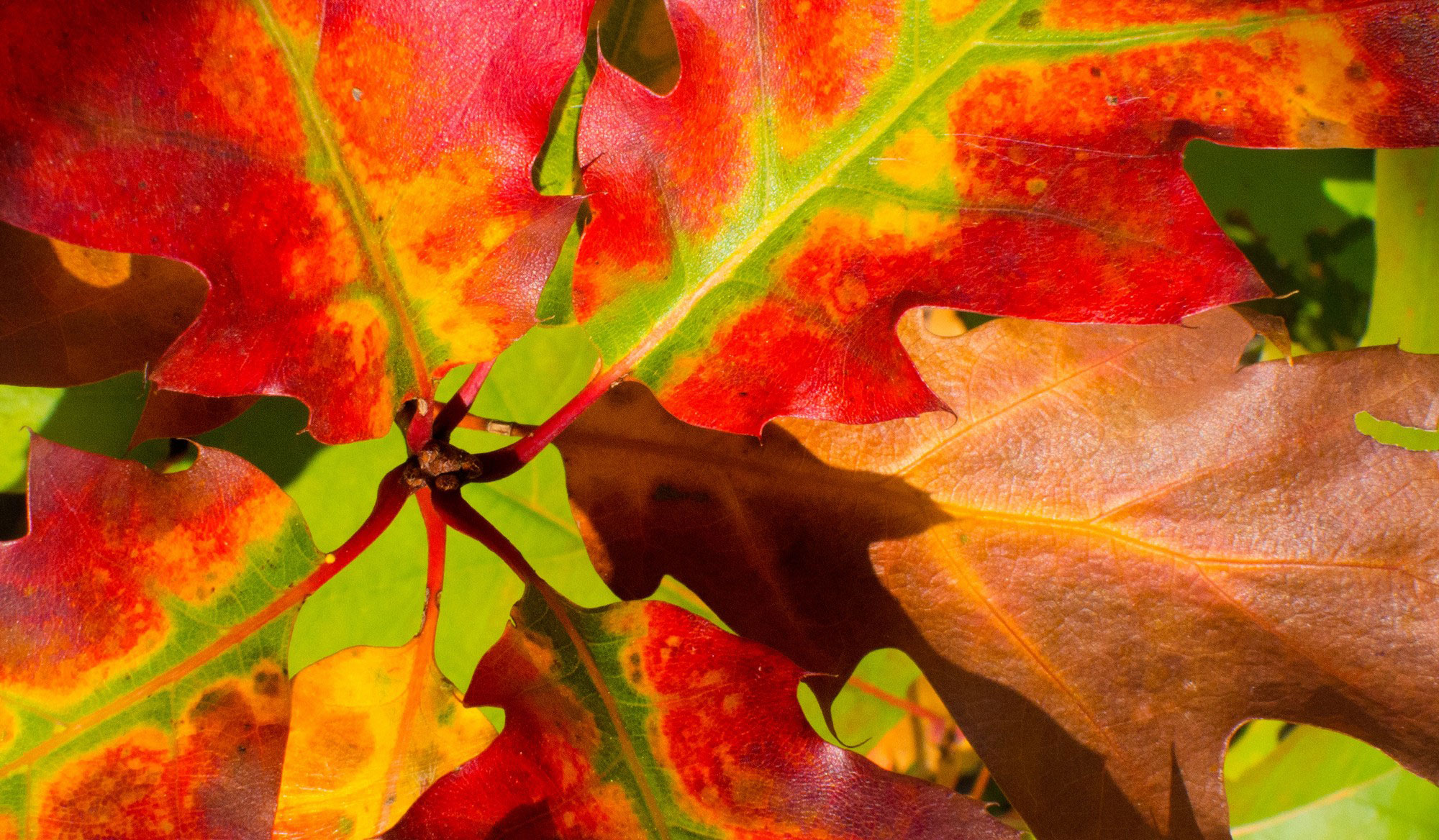 Gorgeous red, yellow, and green autumn leaves from enneafive of Flickr